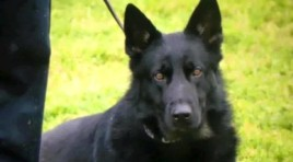 Woodland (CA) Police Dog Critical After Chasing Suspect