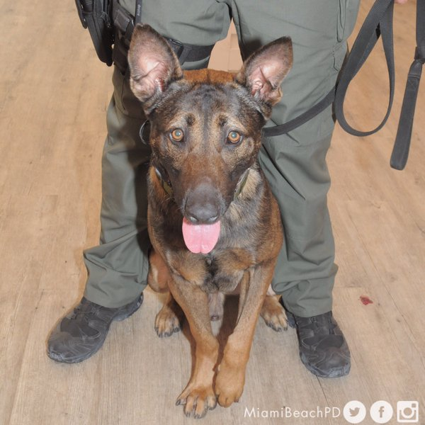 Missing K9, Colt, Found After a Massive Police Search