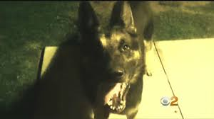 Retired Police Dog Stabbed As It Mauls And Drags Man