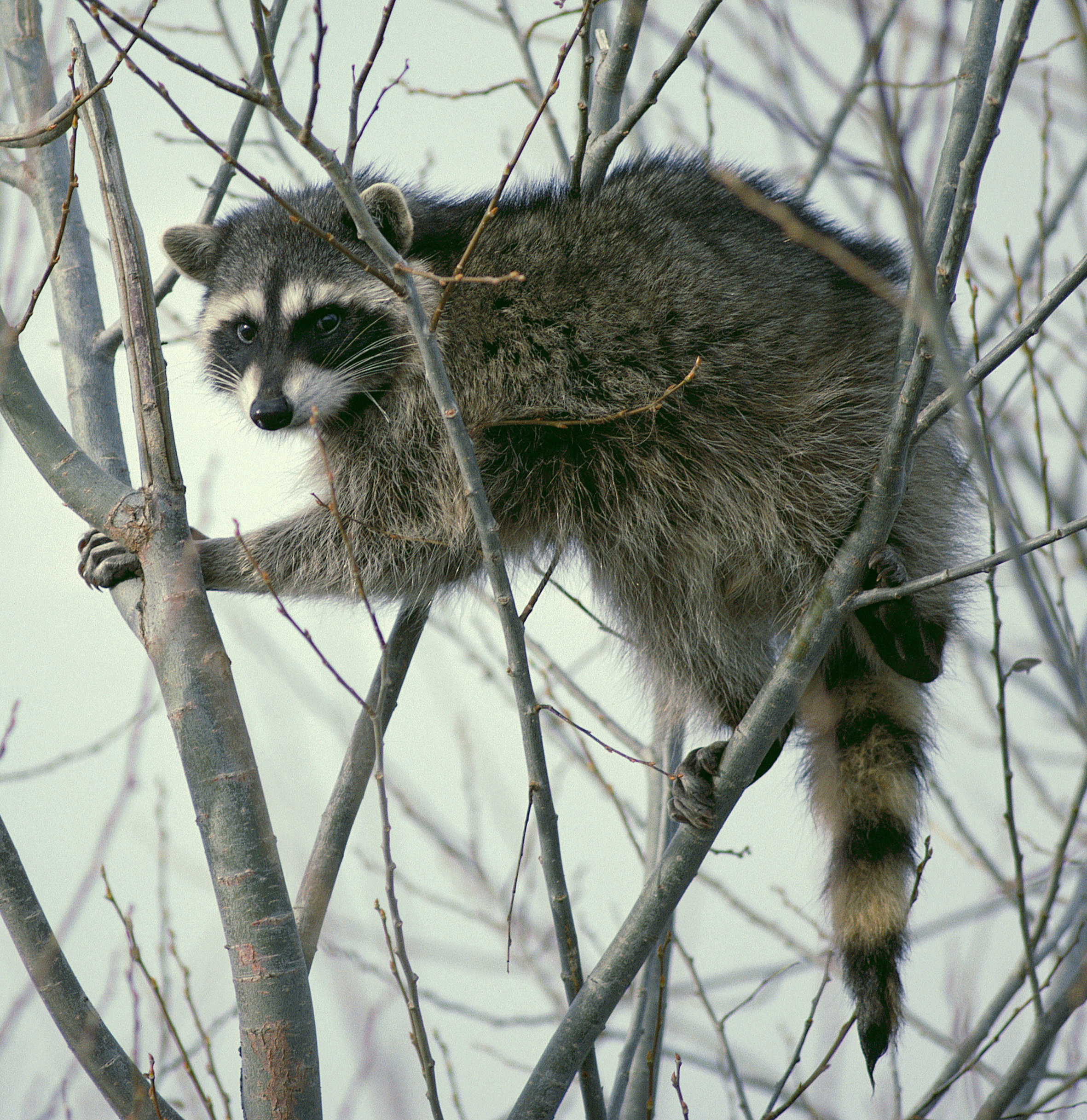 US Park Police Officer Attacked by Rabid Raccoon, Accidentally Shoots Himself