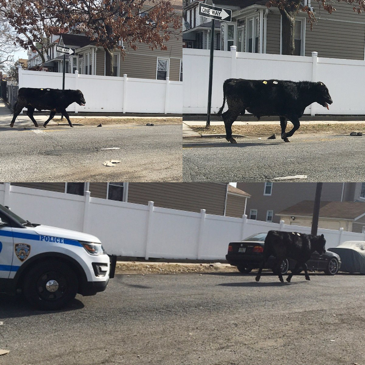 NYPD Chases Cow After Slaughterhouse Escape