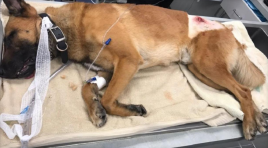 Hero Police K9 Shot, Took Bullet For Handler