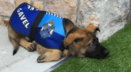 Police Dog Fired For Being Too Friendly