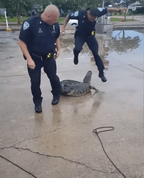 Watch Louisiana Deputy Overreact To Alligator