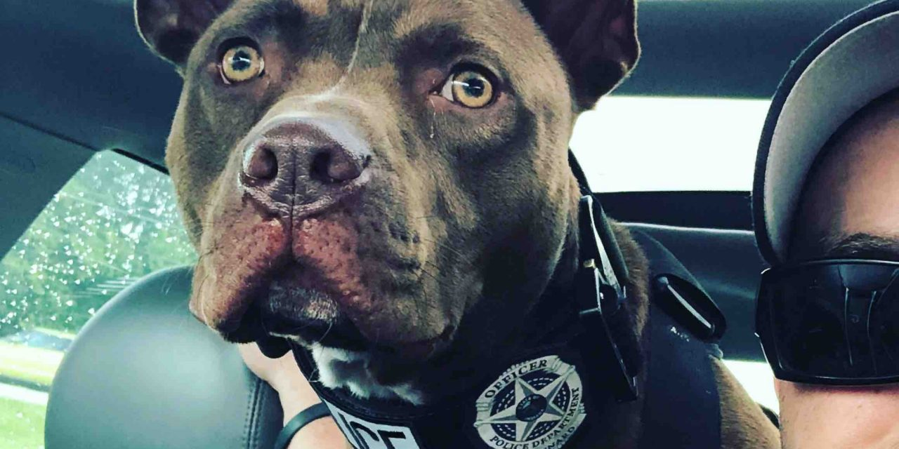 Abandoned Pit Bull Is Now a K9 Officer In Indiana