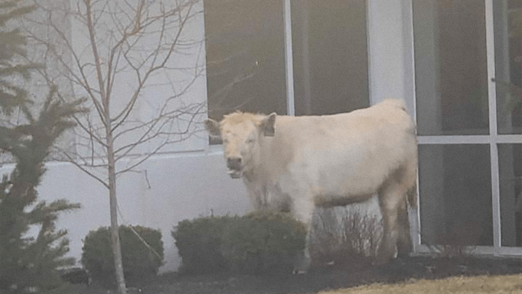 Cow Runs From Cops Straight To Chick-Fil-A