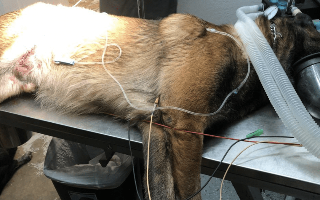 Police Service Dog Stabbed While Apprehending Suspect